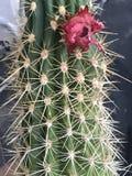 Cactus van liefde Royalty-vrije Stock Foto's