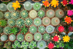 Cactus variety Royalty Free Stock Images