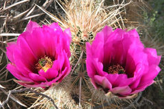 Cactus variopinti in Death Valley Fotografia Stock