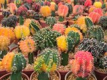 Cactus variopinto Immagine Stock Libera da Diritti
