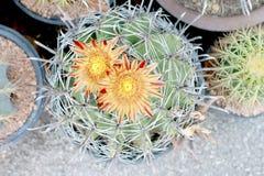 Cactus variopinto in un vaso Fotografia Stock Libera da Diritti