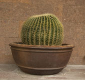 Cactus in a vase royalty free stock photo