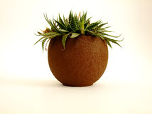 Cactus in Vase. Small Cactus in brown round Vase in white Background Stock Photography