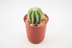Cactus in vasi Fotografia Stock