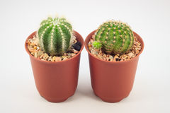 Cactus in vasi Immagine Stock Libera da Diritti