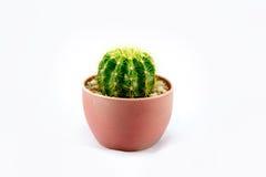 Cactus in vaso di plastica Immagini Stock Libere da Diritti