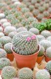 Cactus in vaso di plastica Fotografia Stock Libera da Diritti