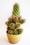Cactus in vaso giallo isolato su fondo bianco Immagine Stock