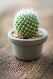 Cactus in vaso sul pavimento di legno Fotografia Stock