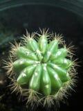 Cactus verde Fotografia Stock