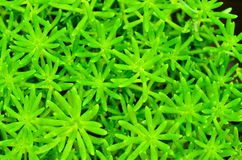 Cactus verde Imagen de archivo