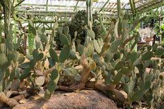 Cactus verde Fotografie Stock Libere da Diritti
