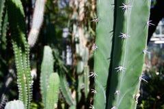 Cactus verde Foto de archivo libre de regalías