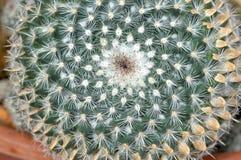 Cactus verde Fotos de archivo libres de regalías