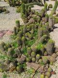 Cactus verde Fotografía de archivo libre de regalías