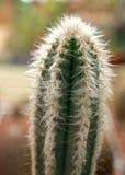 Cactus verde con el pelo blanco Fotografía de archivo libre de regalías