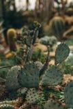 Cactus verde con i torns taglienti Fotografia Stock