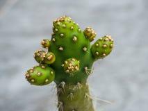 Cactus verde con las espinas dorsales largas fotografía de archivo libre de regalías