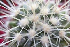 Cactus verde con le spine dorsali lunghe Fotografia Stock Libera da Diritti