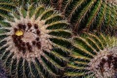 Cactus verde coperto di spine Fotografia Stock Libera da Diritti