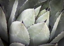 Cactus verde de la planta del agavo fotos de archivo