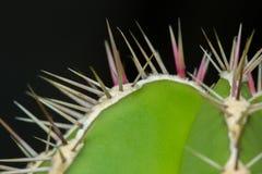 Cactus verde del primo piano Fotografie Stock