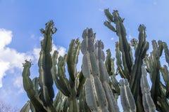 Cactus verde en el jardín Imagen de archivo