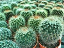 Cactus verde en el pote anaranjado en la granja, fondo del cactus fotos de archivo