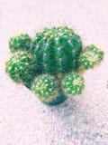 Cactus verde en pote plástico negro Foto de archivo libre de regalías