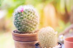 Cactus verde nel giardino Fotografia Stock Libera da Diritti