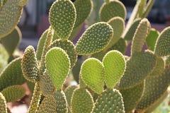 Cactus verde nell'ambito di luce solare Fotografia Stock