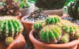 Cactus verde in picchiettio con luce del sole al pomeriggio, tono d'annata fotografia stock libera da diritti