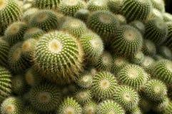 Cactus verde spinoso Fotografie Stock Libere da Diritti