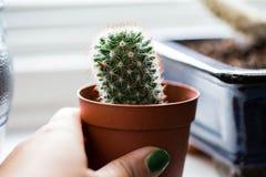 Cactus verde, succulents en el alféizar con el fondo suave ligero Tarjeta de felicitación de la primavera o del verano Plantas ca imágenes de archivo libres de regalías