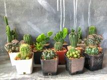 Cactus verde sul vaso con il fondo del cemento Differente del cactus Fotografia Stock Libera da Diritti