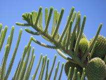Cactus verdi vibranti in La Gomera, Canarie Immagine Stock Libera da Diritti