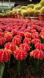 Cactus vermiglio della palla fotografia stock libera da diritti