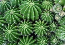 Cactus vert Photo libre de droits