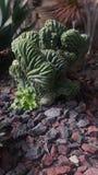 Cactus vert amorphe et unique Images libres de droits