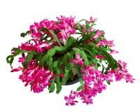 Cactus vert avec des fleurs d'isolement Photographie stock