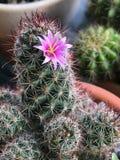 Cactus vert avec l'épine et la fleur photographie stock