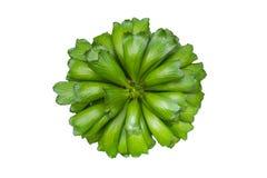 Cactus vert d'isolement, vue supérieure d'usine verte de feuille sur le blanc, Eupho images libres de droits