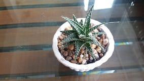 Cactus vert dans le pot blanc placé sur le bureau en bois Photographie stock libre de droits