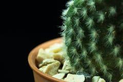 Cactus vert dans le pot de fleurs photo libre de droits