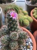 Cactus vert de plan rapproché avec l'épine et la fleur image stock