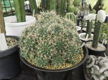 Cactus vert de plan rapproché dans le pot d'usine Image libre de droits