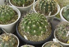 Cactus vert de plan rapproché dans le pot d'usine Photographie stock libre de droits