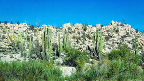 Cactus vert et ciel bleu Photographie stock libre de droits
