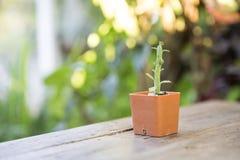Cactus vert s'élevant dans le pot carré sur la table en bois Photo stock