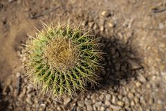 A cactus viewed directly from above, Abu Dhabi royalty free stock photo